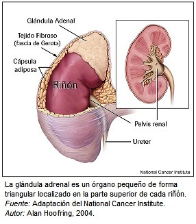 Glandula Adrenal